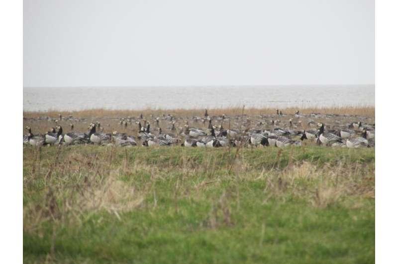 La gestión del pastoreo de las marismas contribuye a la defensa costera
