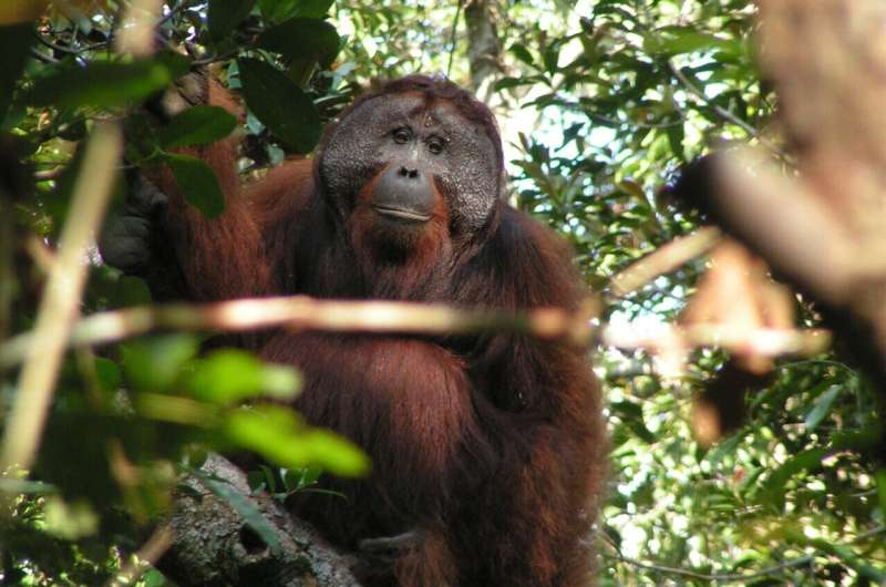 Great ape's consonant and vowel-like sounds travel over distance without losing meaning