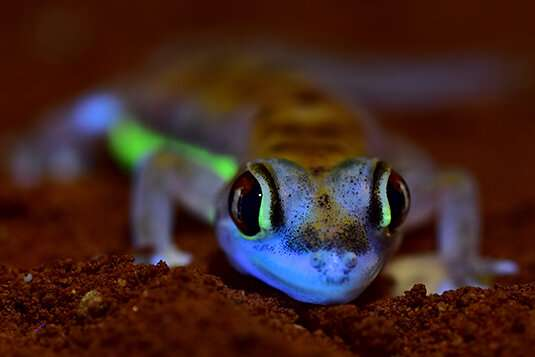 Green glowing gecko under UV-light