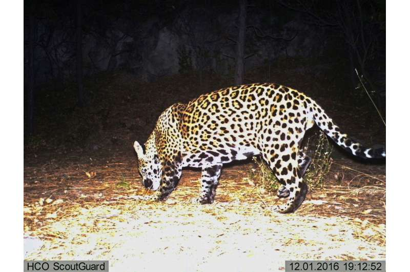 Groups call for reintroduction of jaguars in US Southwest