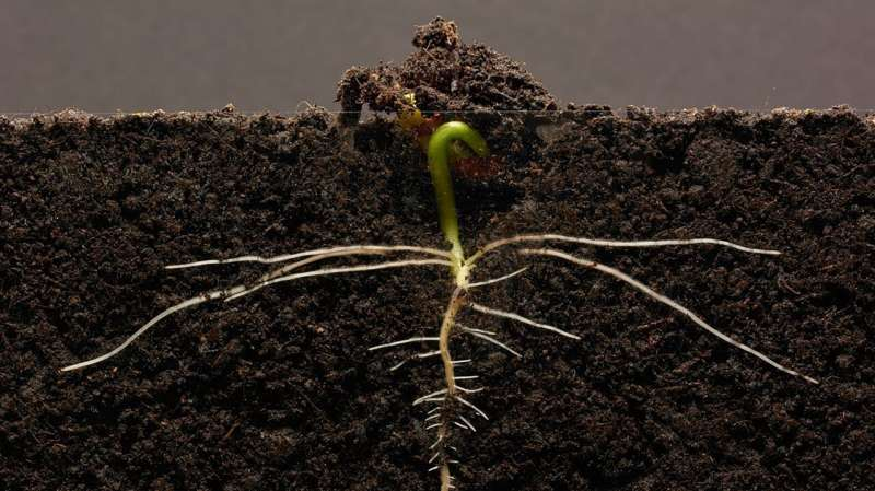 Growth-promoting, anti-aging retinal at the root of plant growth too