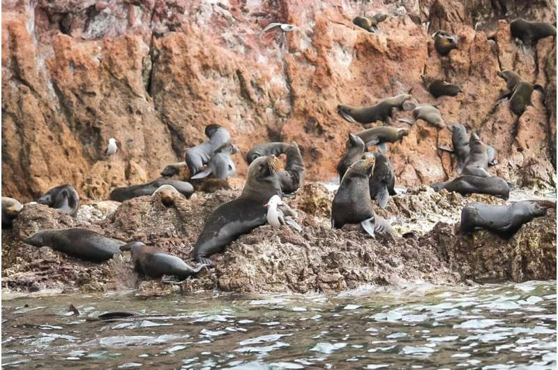 Guadalupe fur seals continue to recover as new colony discovered