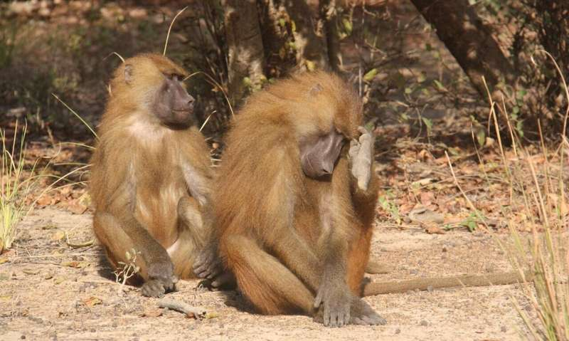 Guinea baboons grunt with an accent