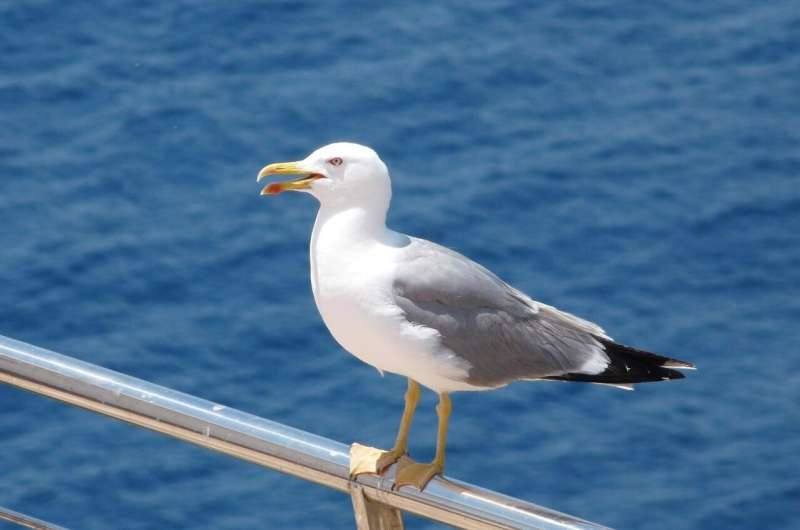 Gulls, sentinels of bacteria in the environment