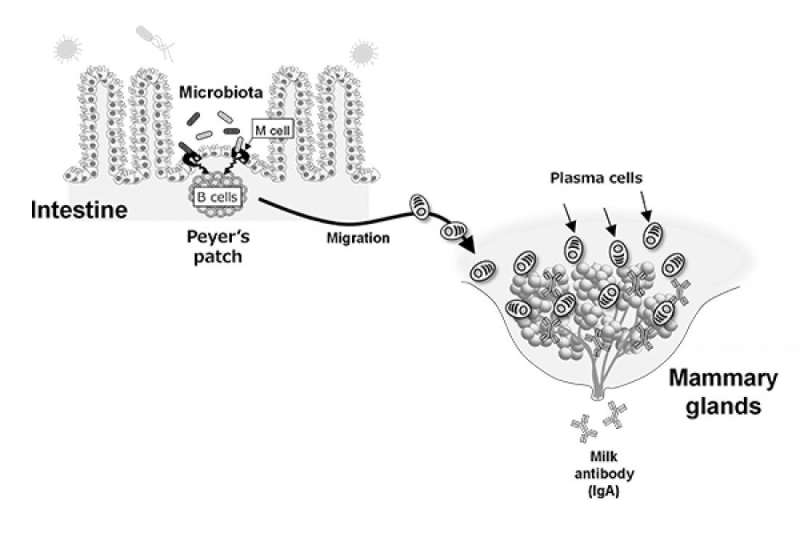 Gut microbiota induces the secretion of maternal antibodies in breastmilk