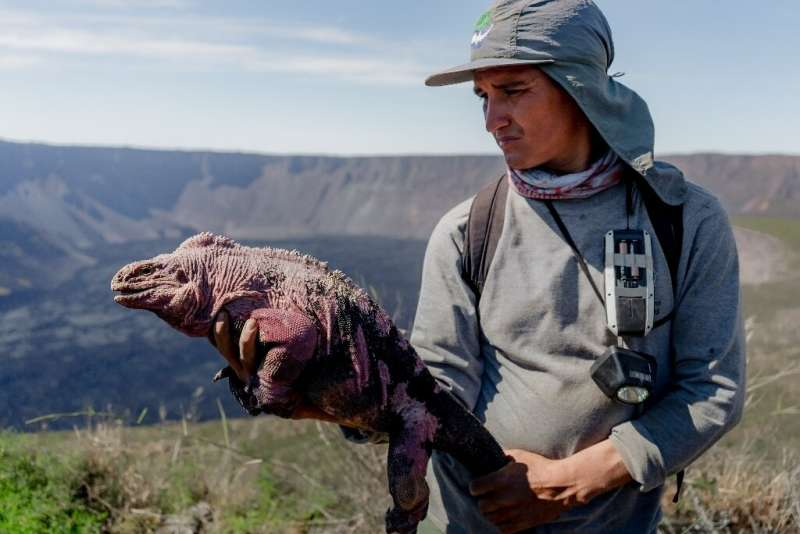 Handout photo released by the Galapagos National Park of a group of park ranger monitoring a Galapagos pink iguana at Wolf Volca
