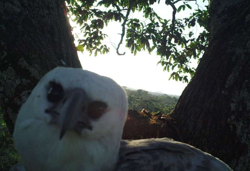 Harpy eagles have been recorded living more than 50 years in the wild