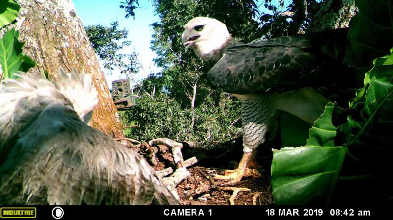 Harpy eagles could be under greater threat than previously thought