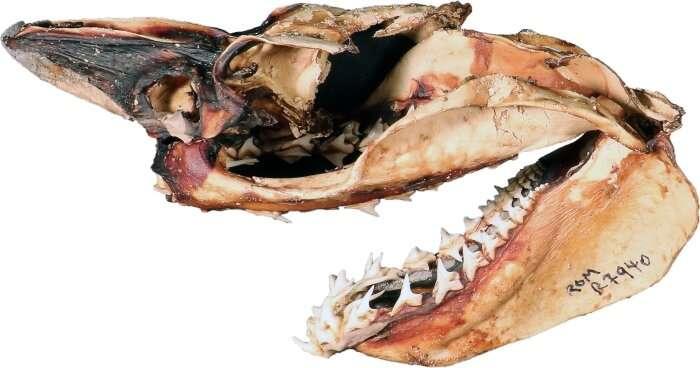 Tener una comida favorita puede matarte: una crónica de 83 millones de años sobre la evolución de los tiburones