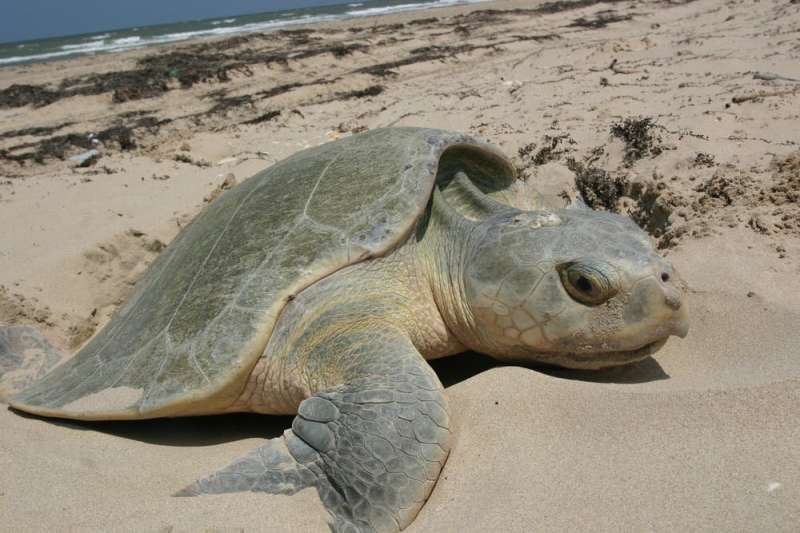 Helping endangered sea turtles, one emergency surgery at a time