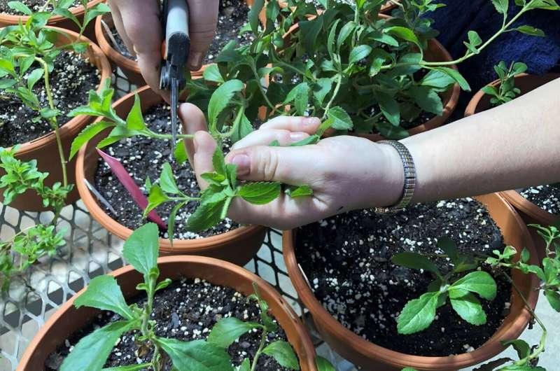 Ayudando a las plantas de stevia a afrontar el frío