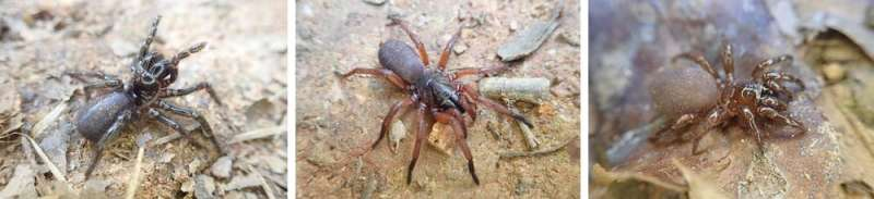 Here are 5 new species of Australian trapdoor spider. It took scientists a century to tell them apart