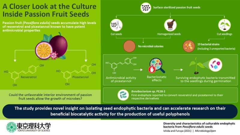 Oculto en las semillas: bacterias que sobreviven en el duro interior de las semillas de maracuyá