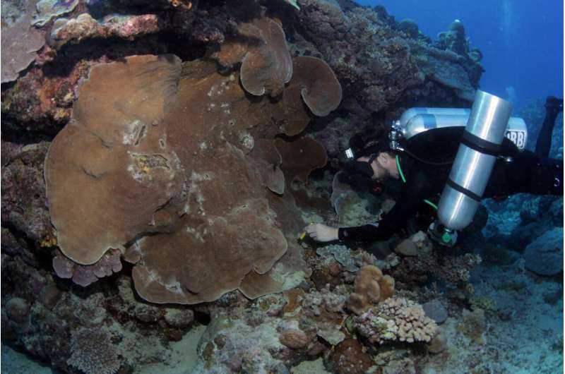 Hidden diversity of coral more important for conservation than previously thought