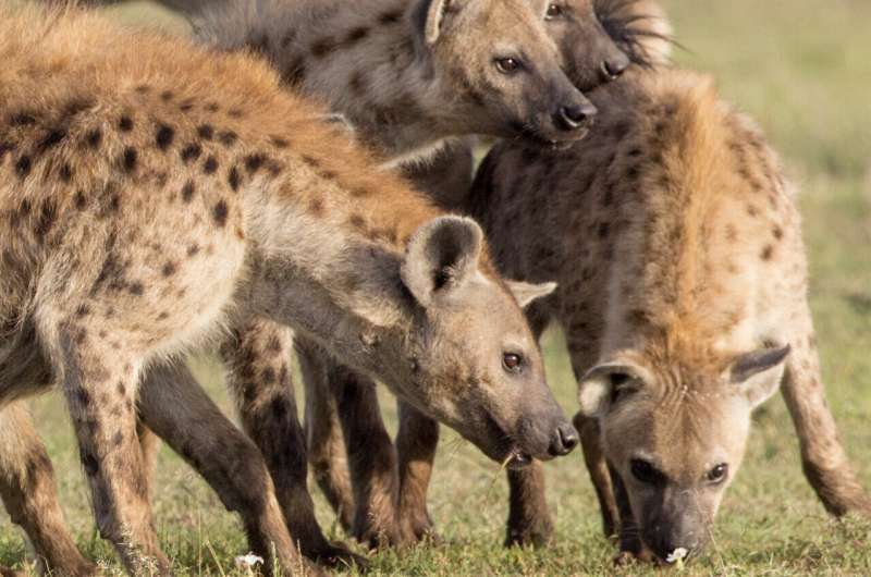 High-ranking hyena mothers pass their social networks to their cubs