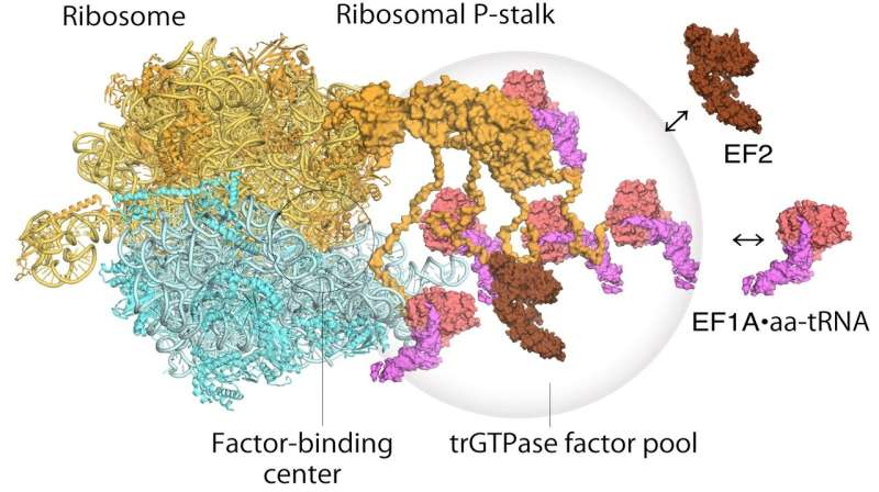 High-speed atomic force microscopy visualizes cell protein factories