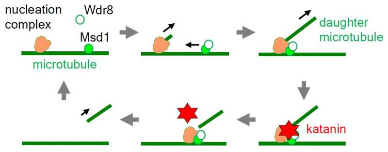 Hired blade: Anchoring complex in plant cells recruits its own katana sword