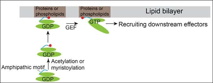 HKUST Researchers Discover a Novel Mechanism of Recruiting Arf Family Proteins to specific subcellular localizations