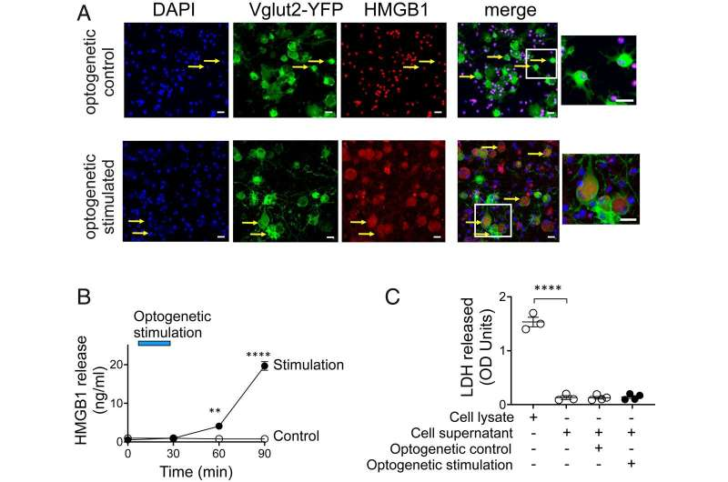 HMGB1 released from nociceptors mediates inflammation