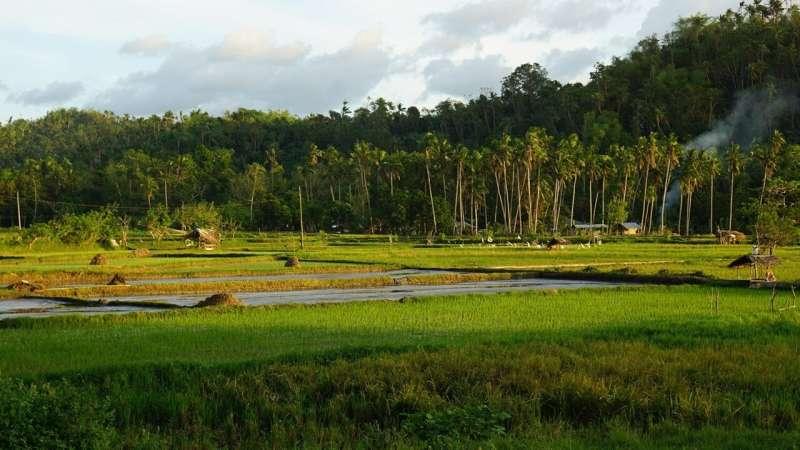 Las noches calurosas confunden los relojes circadianos en el arroz, lo que perjudica los rendimientos de los cultivos