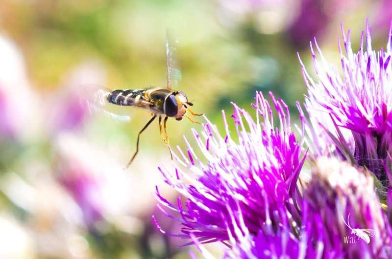 Hoverflies navigate using sun and body clock