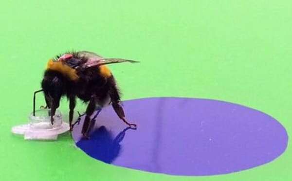 How a bee sees: tiny bumps on flower petals give them their intense colour — and help them survive
