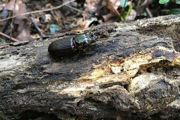 How antibiotic-filled poop helps 'bessbug' beetles stay healthy