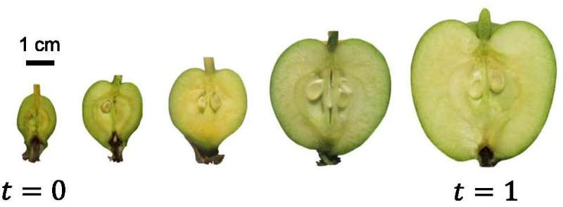 Cómo las manzanas adquieren su forma