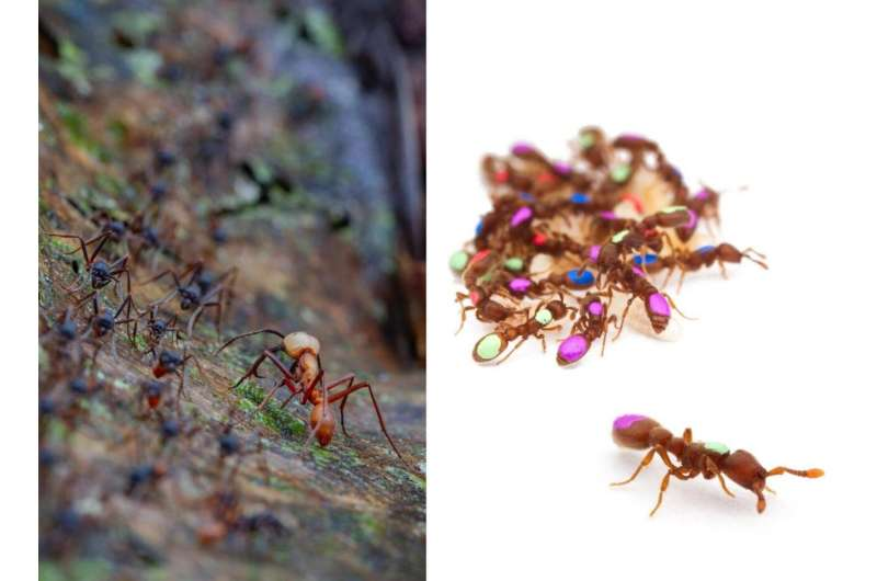 How army ants' iconic mass raids evolved