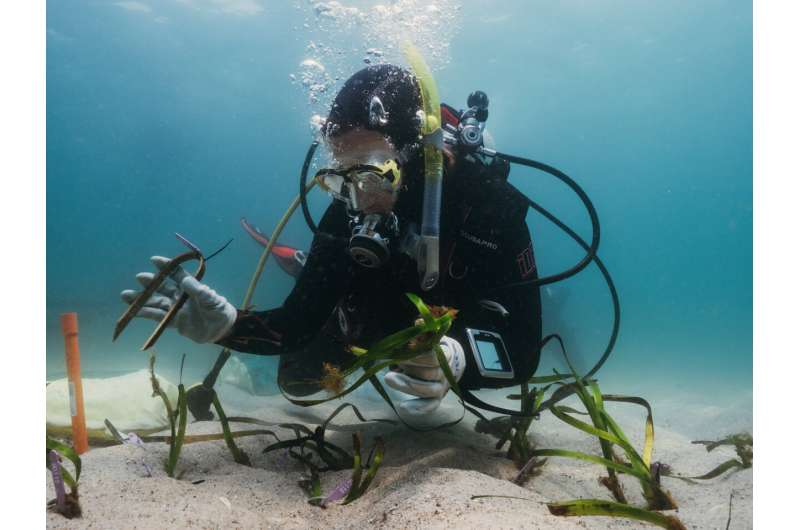 How citizen scientists are restoring NSW's endangered seagrass meadows