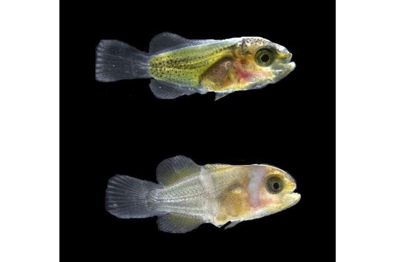How do clownfish earn their stripes?
