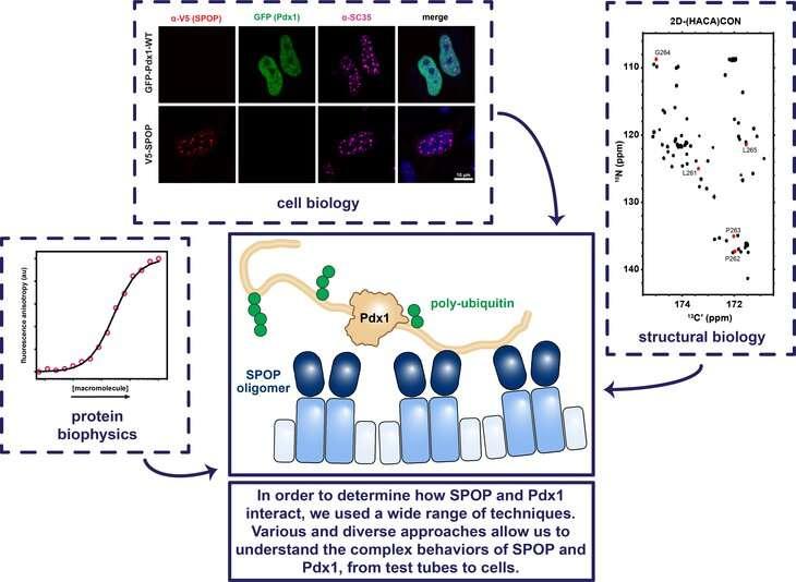 Πώς γνωρίζει μια ρυθμιστική πρωτεΐνη πού να δεσμεύεται για να ρυθμίσει την παραγωγή ινσουλίνης;