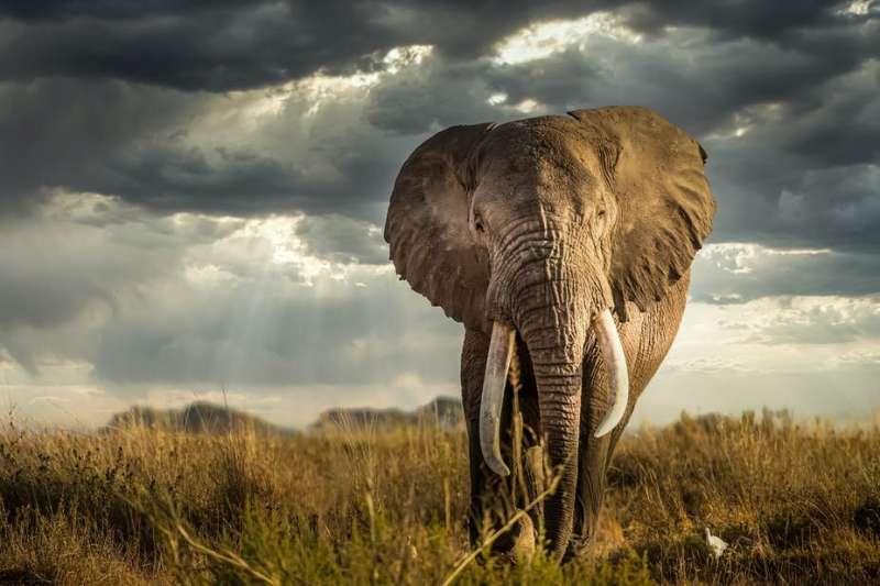 How elephants raid crops in Kenya's Masai Mara has changed