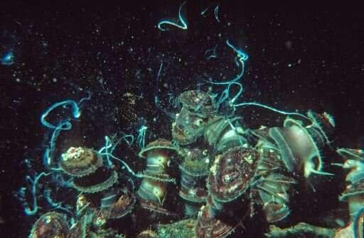 How genetic islands form among marine molluscs