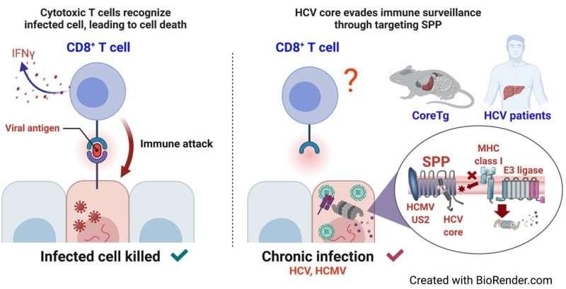 How hepatitis C virus evades the immune system