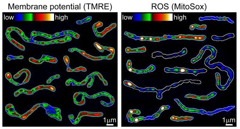 How mitochondria make the cut