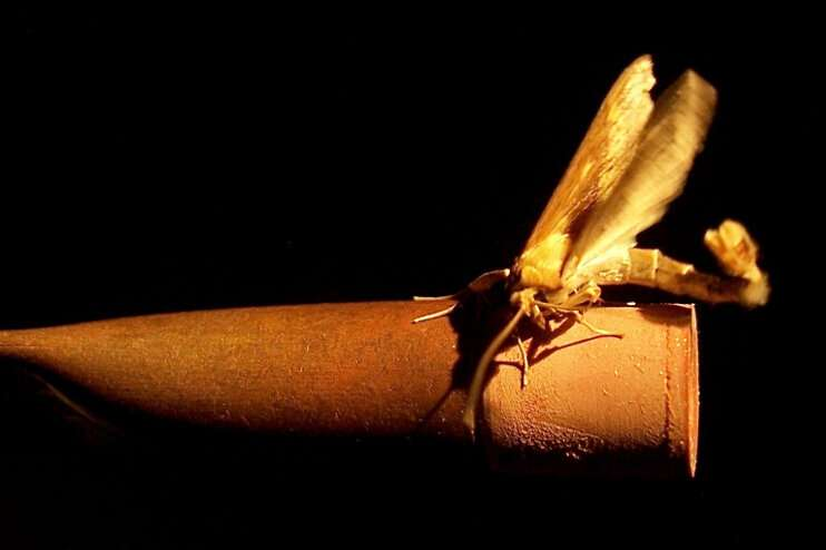 How moths find their flame - genetics of mate attraction discovered