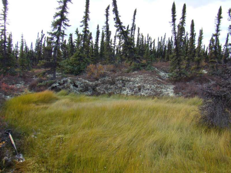 How much carbon will peatlands lose as permafrost thaws?