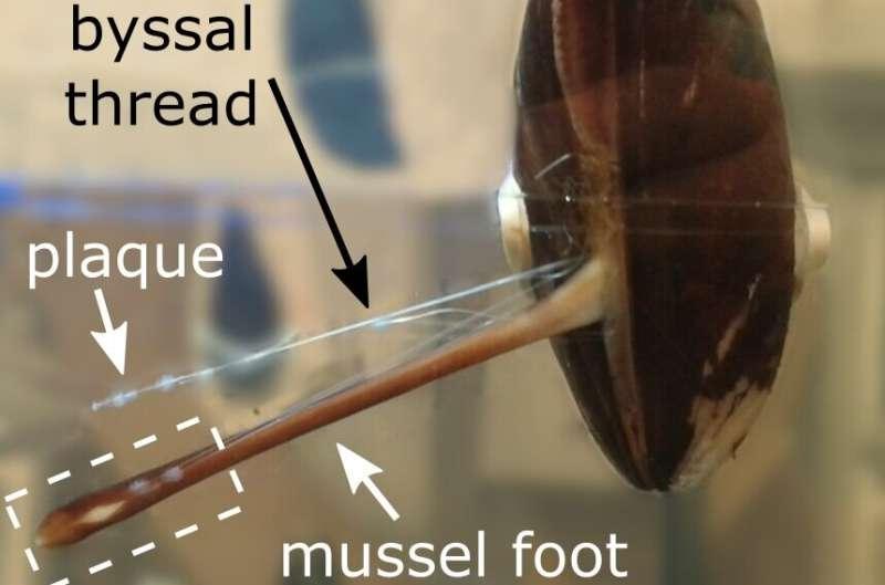 Cómo los mejillones hacen un poderoso pegamento submarino
