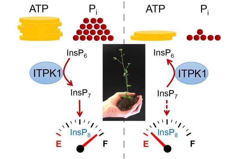 Cómo las plantas perciben el fosfato
