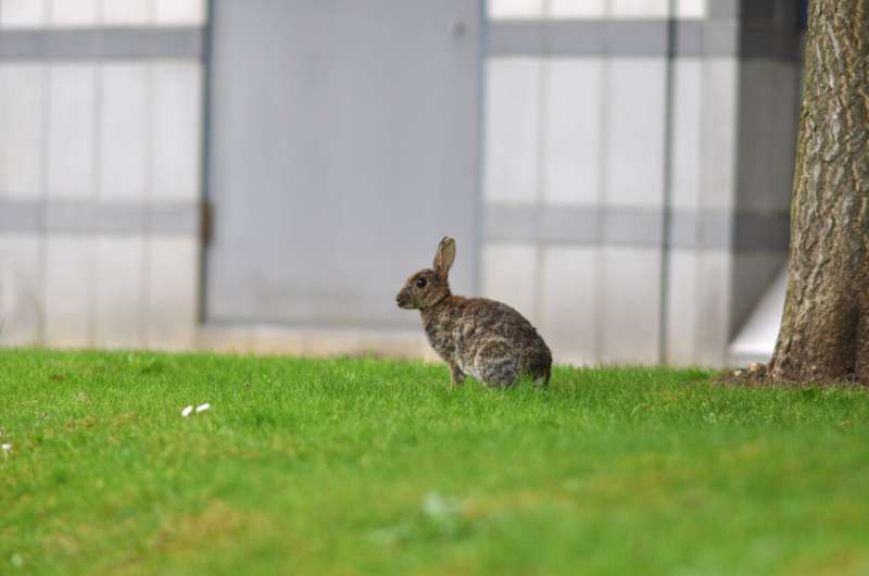 How rabbits help restore unique habitats for rare species