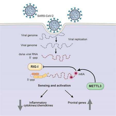 How SARS-CoV-2 hijacks human cells to evade immune system