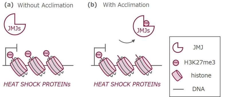 Cómo combatir el calor: el mecanismo de memoria permite que las plantas se adapten al estrés por calor