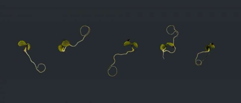 How a plant regulates its growth