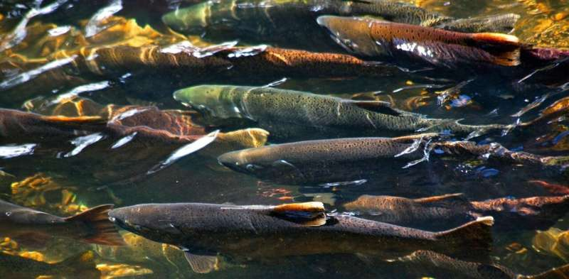 How city roads trap migrating fish