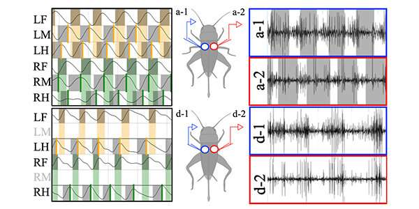 How insects activate muscles to adapt to limbs removed