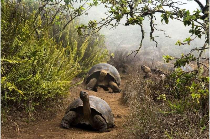 Human action, key to antibiotic resistance in giant Galapagos turtles