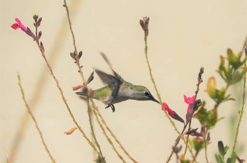 Hummingbirds can smell their way out of danger