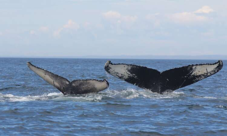 Humpback whales impacted by climate change