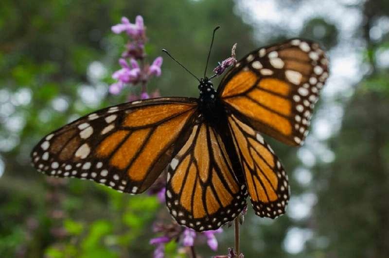 Cientos de voluntarios canadienses están participando en un programa para encontrar huevos de mariposa monarca, para ayudar a los investigadores a determinar envir